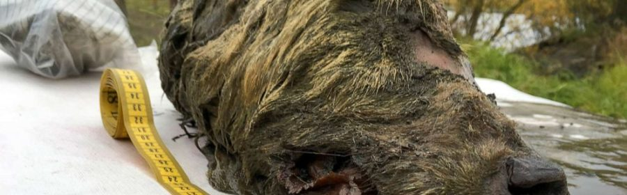 A Perfectly Preserved 32,000-Year-Old Wolf Head Was Found in Siberian Permafrost