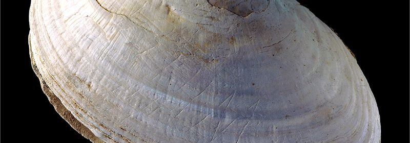 The World's Oldest Art May Be This 430,000-Year-Old Zigzag on a Shell