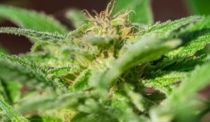 Cannabis originated in China, genetic analysis reveals